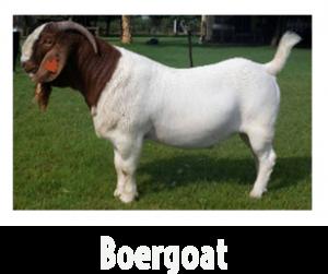 Boergoat1