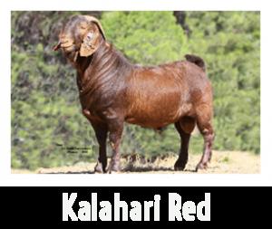 Kalahari Red1